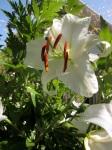 lily - casablanca