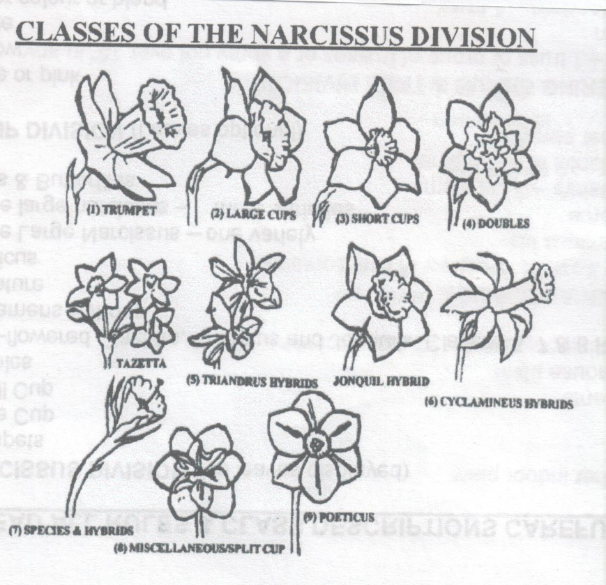classes of narcissus division